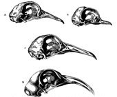 Pigeon skulls drawn by Darwin