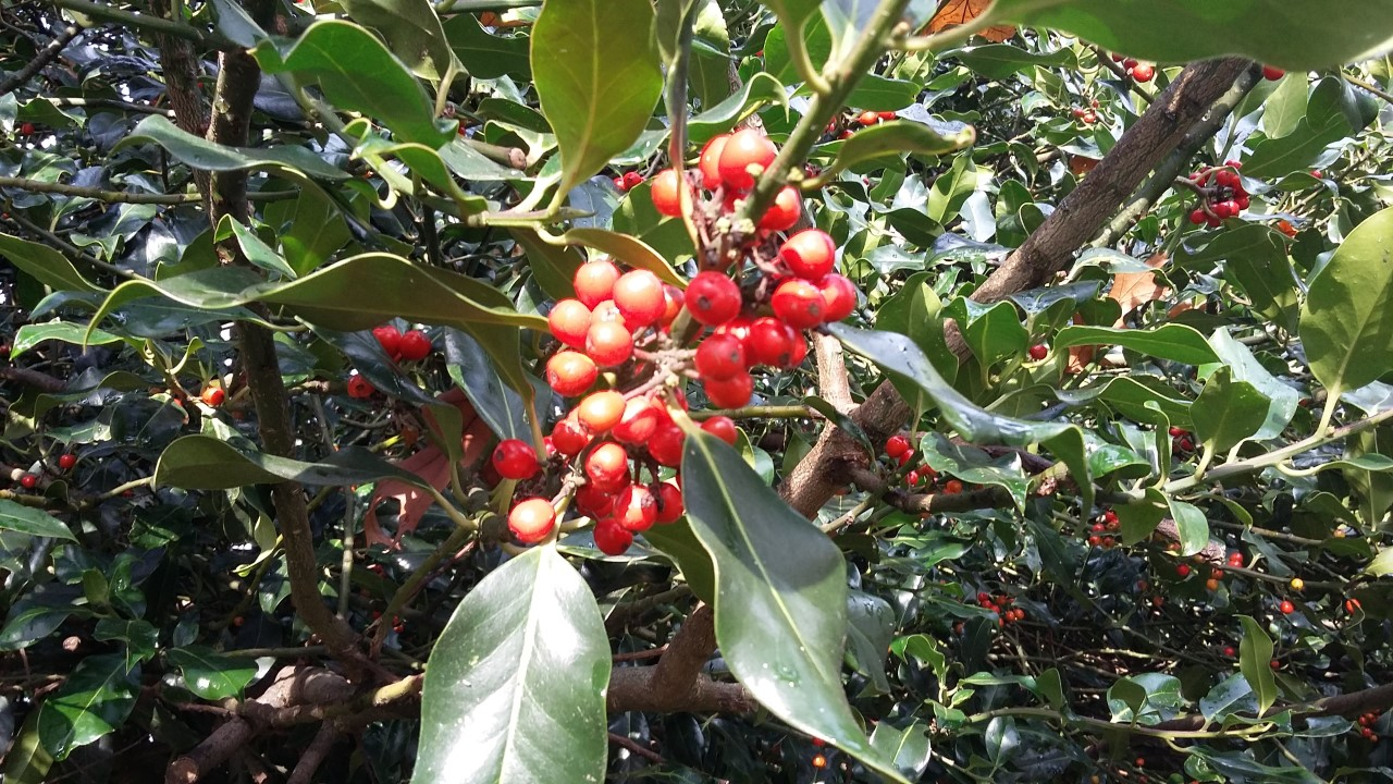 Holly and mistletoe are completely reliant on pollinators