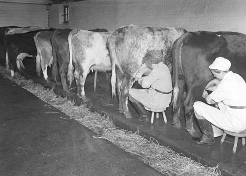 Hand Milking Cows University Of Reading