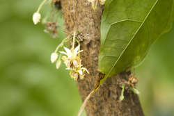 Flower on a cocoa plant