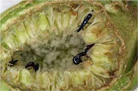We study the ecology and evolution of the symbiosis between tropical fig trees and fig- pollinating wasps (seen here laying eggs in fig flowers)