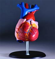 Model of cardiovascular system