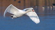 A Swan in flight over Whiteknights Lake, photograph by Dr Mark Fellowes