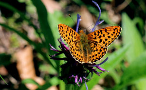 Comma butterflies have spread across England over recent decades