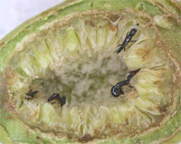 Female fig-pollinating wasps crawl around the cavity of a fig fruit