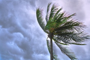 Coconut tree blowing in tropical storm