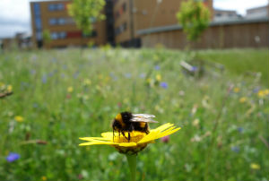 Weeds in our gardens are an important food source for bees