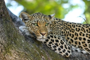 Leopard chilling out relaxing all cool, lying on a tree